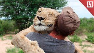 Встреча со львицей после долгой разлуки