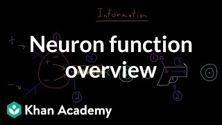 Overview of neuron function