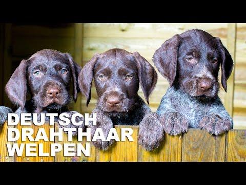 Deutsch Drahthaar Welpen
