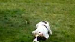 Super Cute Springer Spaniel Puppy Chases Her Tail