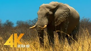 4K African Wildlife: ELEPHANTS Part #1 - A day in Africa with Giant Elephants - 10-bit Color