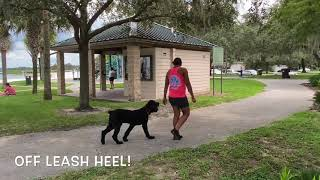 8 Month Old Bouvier Des Flanders 'Forrest' | Best Dog Trainers Orlando | Central Florida Dog Trainer