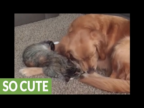 Golden Retriever puts up with overly-affectionate cat