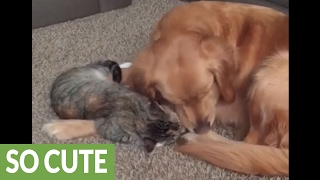 Golden Retriever puts up with overly-affectio...