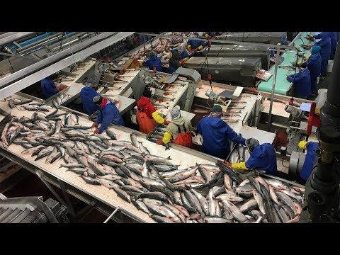 Amazing Big Catching Salmon Fish - Automatic Fish Processing Line Machines Modern Technology