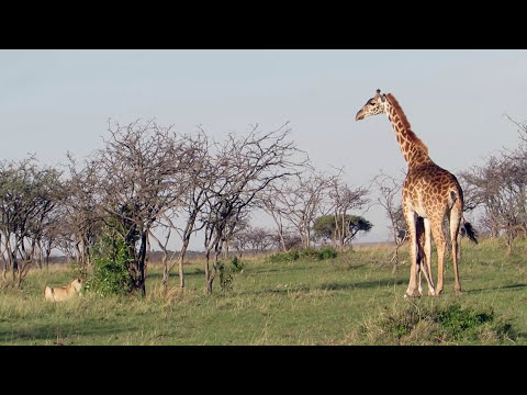 Giraffe saves days old calf from pride of lions