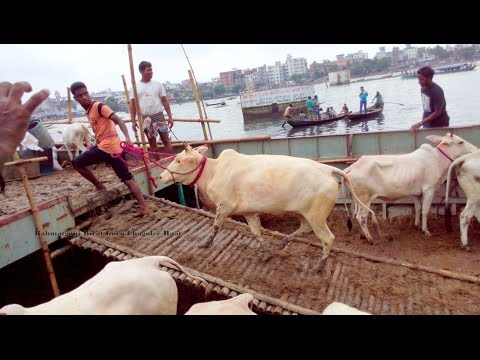 Unloading The Traditional Mirkadim Cows Part 1 at RahmatGanj Birat Goru Chagoler Hat 15