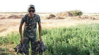 Chasse à la tourterelle au Maroc 2014