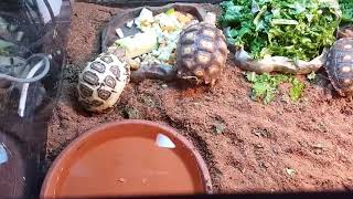 Tour of the baby tortoise habitat as their eating lunch. Habitat setup care how to