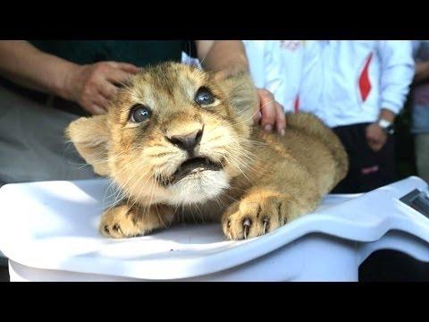 cuccioli di leone - un simpatico e divertente grandi felini. compilazione | Nuovo, HD