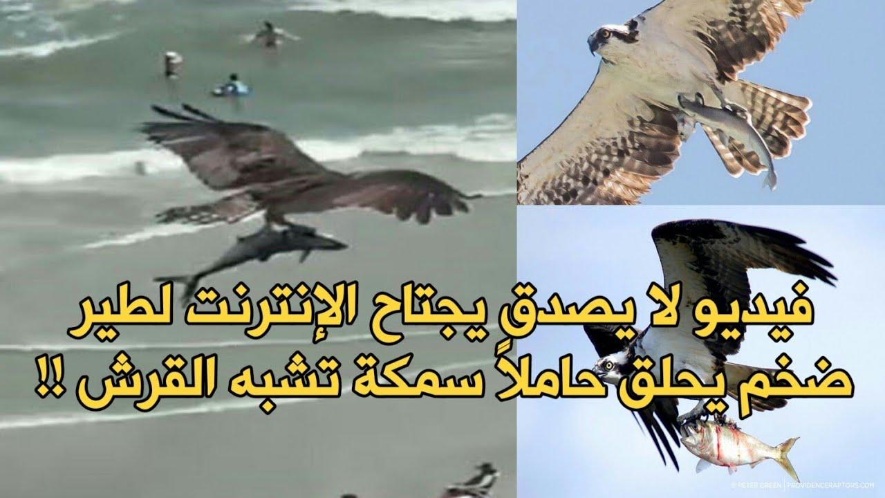 فيديو لا يصدق يجتاح الإنترنت لطير ضخم يحلق حاملاً سمكة تشبه القرش