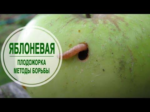 Яблонная плодожорка ➡ Методы борьбы и профилактика 🌟 сад огород с  hitsadTV