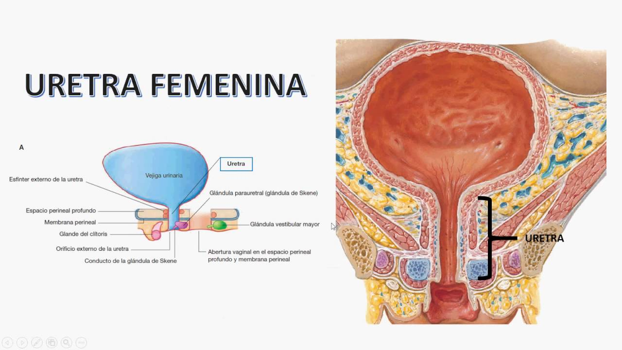 Anatomía del sistema urinario. - YouTube