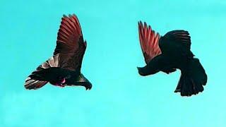 Download world unique amazing ground roller pigeon shows