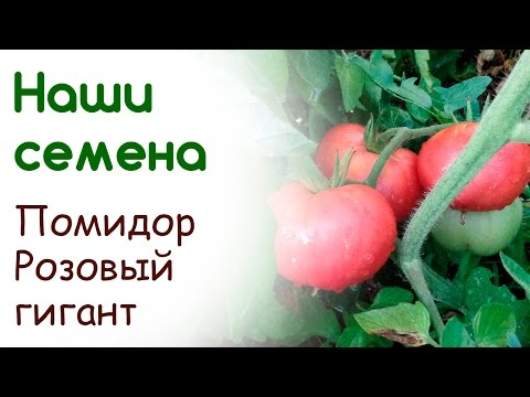 Сорт помидоров Розовый гигант, свои семена