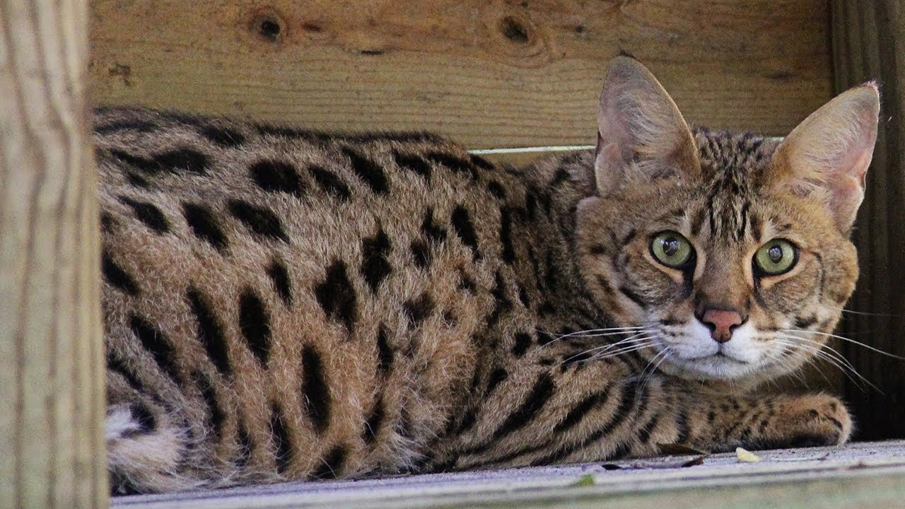 Talking Savannah Cat