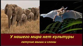 У нашего мира нет культуры: летучие мыши и слоны  № 2150