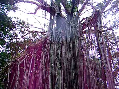 "Strangler Fig-""Curtain Fig Tree""-Atherton Tablelands- Tropical Queensland"