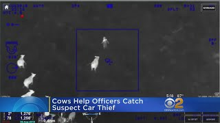 Alleged Car Thief Cornered By Cows In Florida