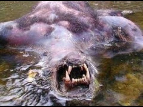 Monstrous Bigfoot Found Dead And Drowned 2016 Real Bigfoot Caught