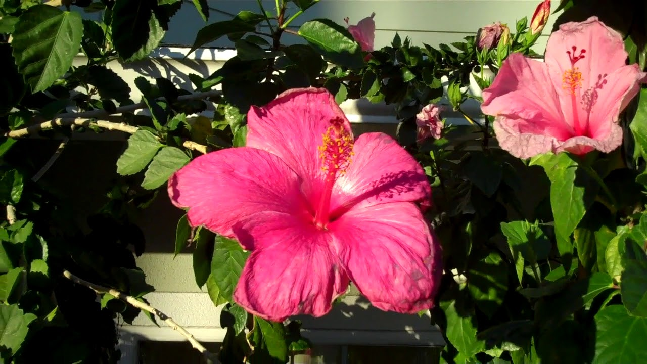 Hawaiian Hibiscus Flower Youtube