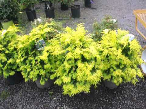 Deer Proof Yards Plant These Evergreens