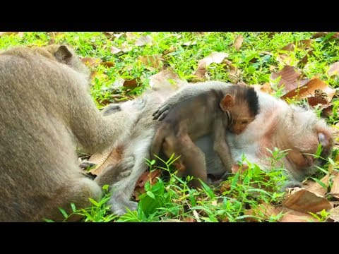 poor monkeys migrate from their hometown cos' Amber attack them!