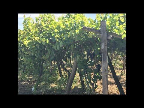 L'Uva da tavola matura piano piano 🍇🍇🍇