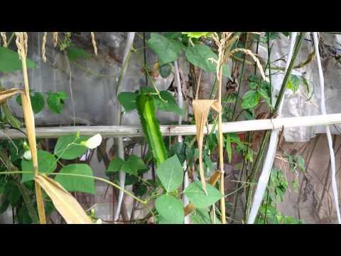 Organic Farming in Singapore--Winged bean