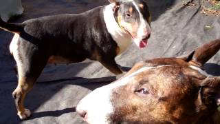 Training English Bull Terriers Introduction, See Behaviour When Enough Is Enough.