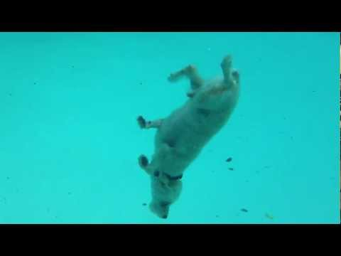 Diving Dog Gets Ball From Pool Floor