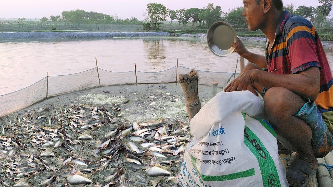 Most Satisfying Pangasius Fish Feeding In Pond part 6   Amazing Feeding System   Wild Fish Hunting