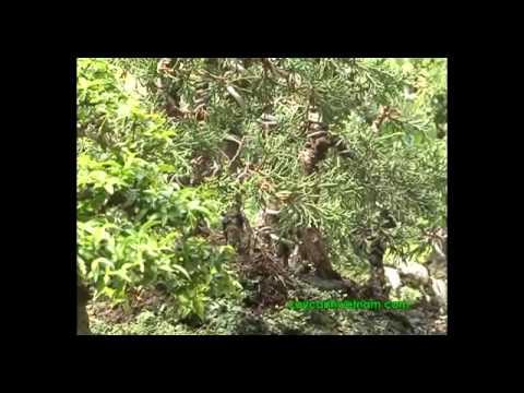 Đăng bởi thanhvan62 - [P4] Kỹ thuật tạo bonsai cơ bản.flv