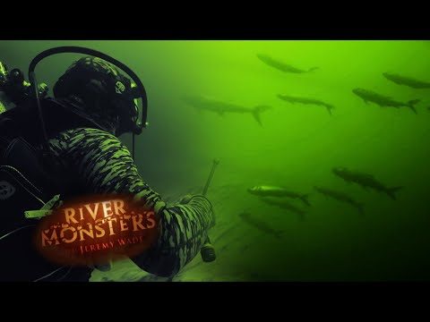 Swimming With A Swarm Of Tiger Fish | TIGER FISH | River Monsters