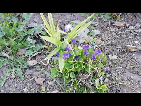 Фиалка болотная или удивительная цветёт раньше?
