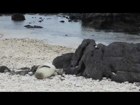 Sneezing Seal at Kaena Point State Park Oahu Hawaii