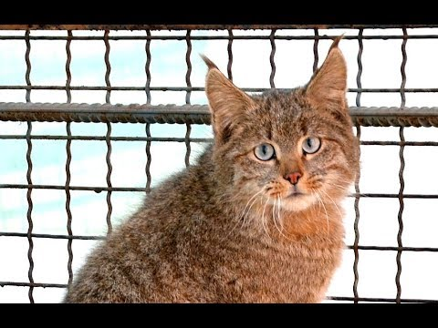 Rarest cats in the world: Chinese Mountain Cat