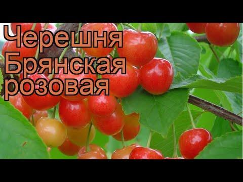 Черешня средний Брянская розовая 🌿 обзор: как сажать, саженцы черешни Брянская розовая