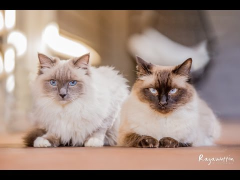 Link and Zelda the Ragdoll Cats | Ragamuffin Pet Photography