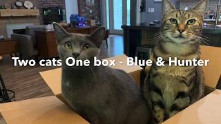 Two cats one box - an American shorthair and a Russian blue cats