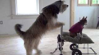 Bear Bear Dog Pushes Chihuahua Maurice In Cart