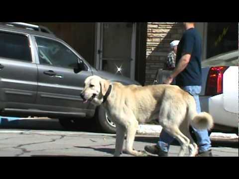 Livestock Guardian Boz Shepherd Dog in town.