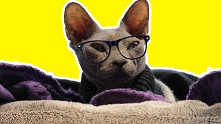 sphynx cat funny moments funny video [HAIRLESS CAT instagram COMPILATION 2020]