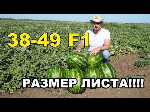 ПРОДОЛЖЕНИЕ! Уникальный гибрид арбуза 38-49 F1. РАЗМЕР ЛИСТА!!!!