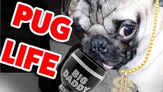 Pug Life! The Funniest &amp Cutest Pug Home Videos Weekly Compilation Funny Pet Videos