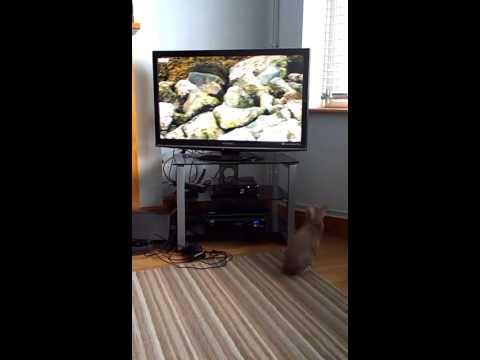 Crazy oriental cat loves T.V