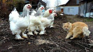 Siberian Farm cats, Сибирские Деревенские кошки, ОКТЯБРЬ 2015 БРАМА светлая  Пух и его команда