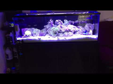Feeding Yellow Longnose Butterflyfish