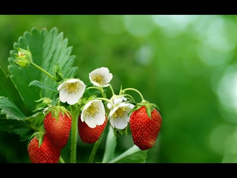 Выращивание клубники. Опыление клубники вручную