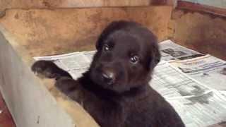 Siuje's Puppies(german Shepherd, Golden Retriever/german Shepherd Mix)  At 4 Weeks Old